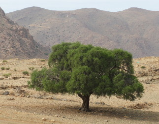 """Argan tree"" by F.Benotman - Own work. Licensed under CC BY-SA 3.0 via Commons"
